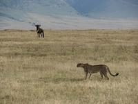 Cheetah_and_wildebeest