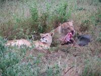 Lion_breakfast