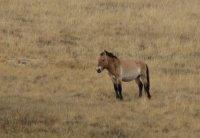 Male_tahki_horse