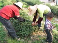 Tea_picking_in_longjing
