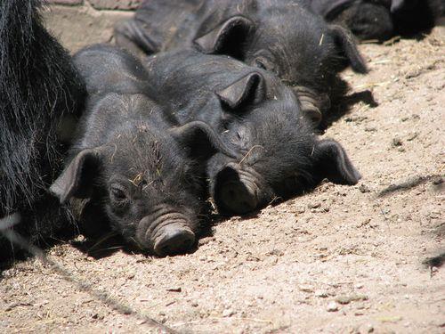 Piglets Ecuador